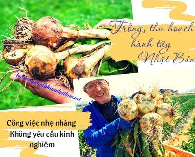 Nông nghiệp Nhật Bản – đơn hàng trồng – thu hoạch hành tây, xà lách tuyển 5 nữ